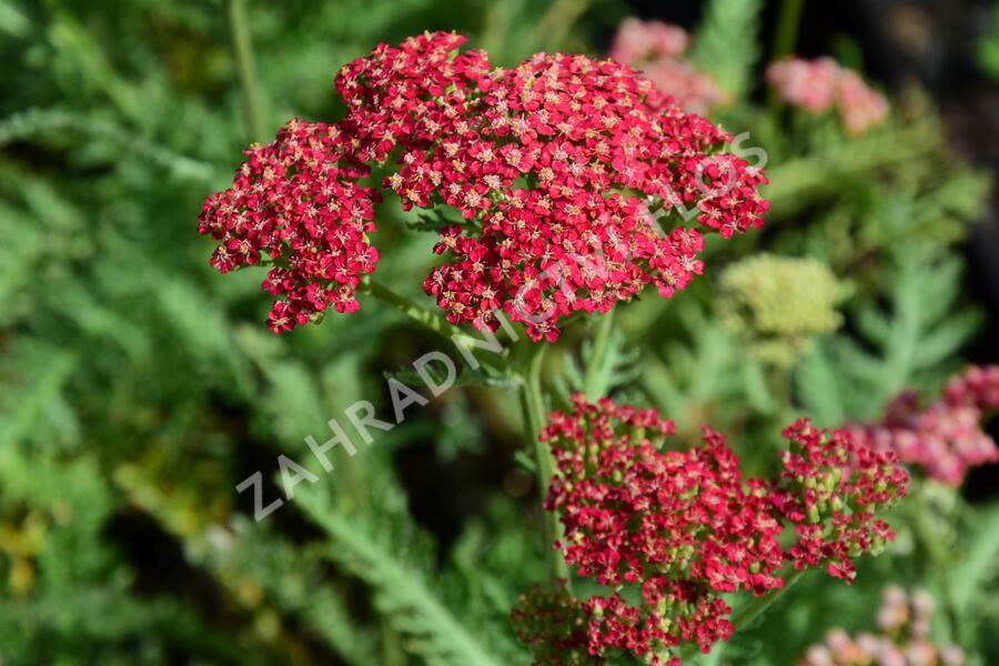 Řebříček obecný 'Belle Epoque' - Achillea millefolium 'Belle Epoque'
