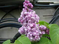Šeřík obecný 'Katherine Havemeyer' - Syringa vulgaris 'Katherine Havemeyer'