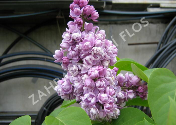 Šeřík obecný 'Katherine Havemeyer' - Syringa vulgaris 'Katherine Havemeyer'