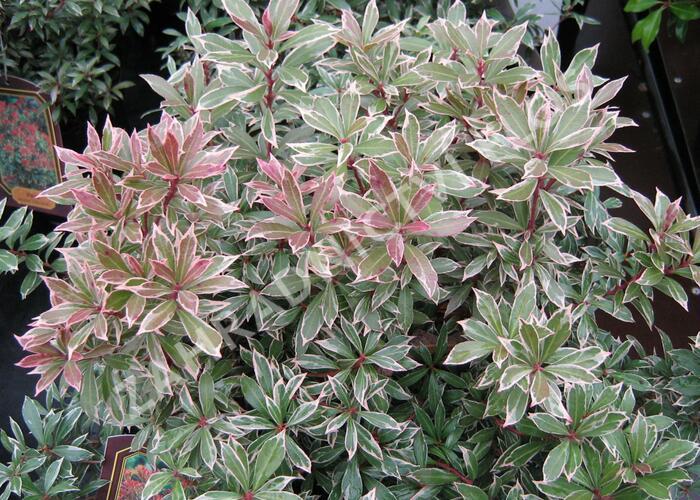 Pieris japonský 'Little Heath' - Pieris japonica 'Little Heath'