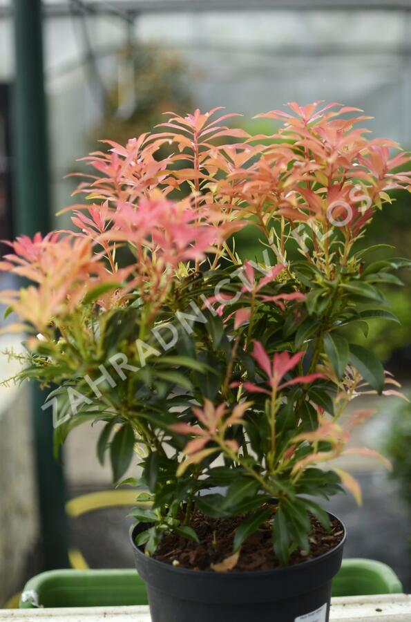 Pieris květnatý 'Forest Flame' - Pieris 'Forest Flame'