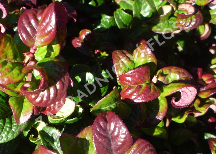 Leukothoe 'Curly Red' - Leucothoe axillaris 'Curly Red'