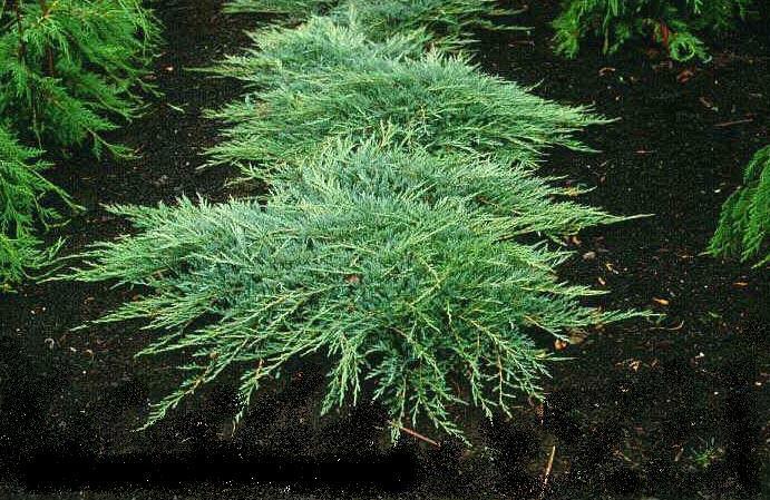 Jalovec polehlý 'Jade River' - Juniperus horizontalis 'Jade River'