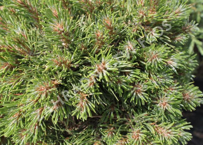 Borovice pyrenejská 'Grüne Welle' - Pinus uncinata 'Grüne Welle'