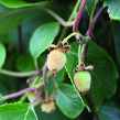 Aktinidie lahodná, kiwi - samosprašná 'Jenny' - Actinidia deliciosa 'Jenny'