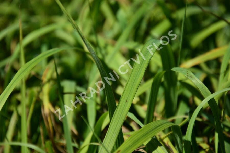 Válečka lesní - Brachypodium sylvaticum