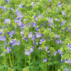 Jirnice 'Heavenly Habit' - Polemonium boreale 'Heavenly Habit'