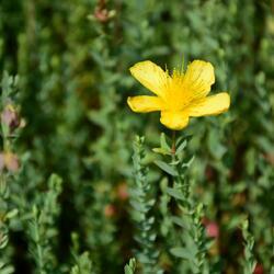 Třezalka - Hypericum olympicum