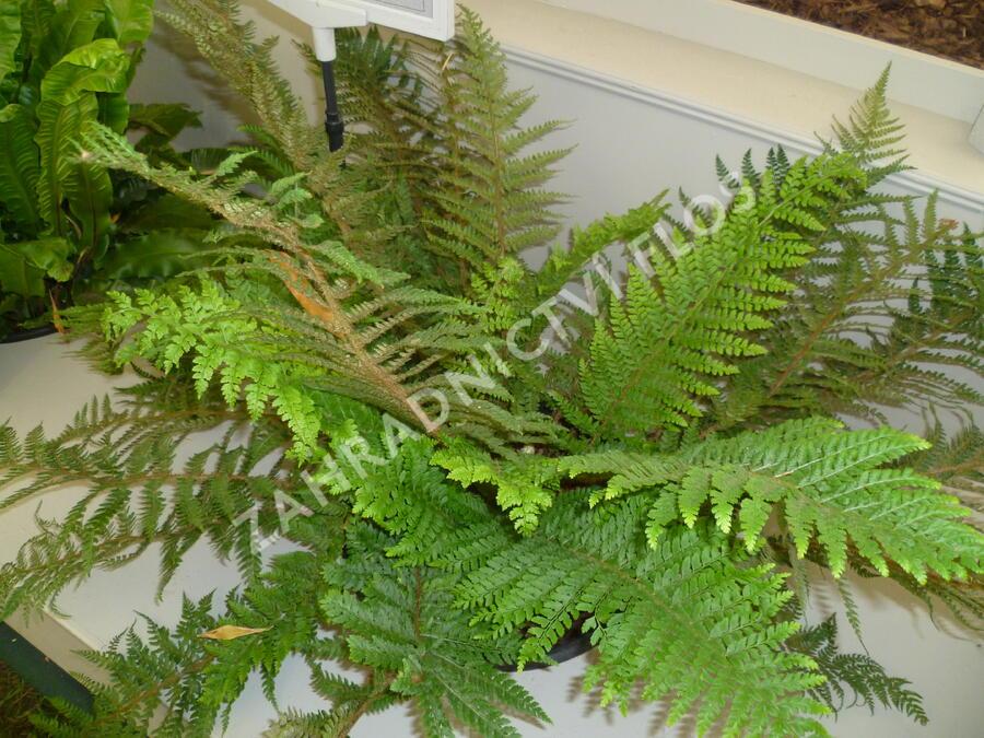 Kapradina štětinonosná 'Dahlem' - Polystichum setiferum 'Dahlem'