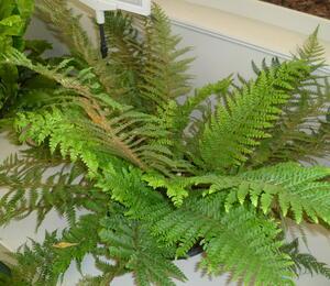 kapradina štětinonosná - Polystichum setiferum 'Dahlem'