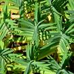 Pryšec skočcový - Euphorbia lathyris
