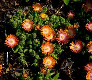 Kosmatec 'Jewel of Desert Topaz' - Delosperma hybrida 'Jewel of Desert Topaz'