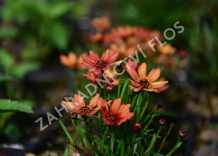 Krásnoočko přeslenité 'Pumpkin Pie' - Coreopsis verticillata 'Pumpkin Pie'