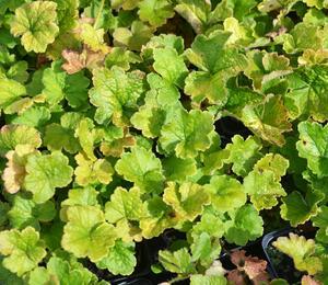 Mitrovka velkokvětá - Tellima grandiflora