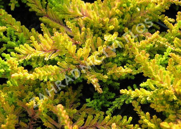 Vřes obecný 'Robert Chapman' - Calluna vulgaris 'Robert Chapman'