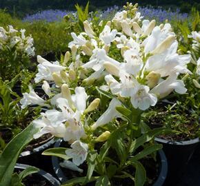 Dračík 'Pinacolada White' - Penstemon barbatus 'Pinacolada White'