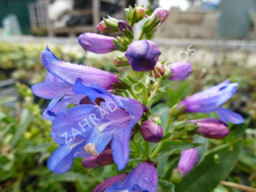 Dračík 'Pinacolada Blue Shades' - Penstemon barbatus 'Pinacolada Blue Shades'