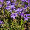 Zvonek dalmatský 'Clockwise Deep Blue' - Campanula portenschlagiana 'Clockwise Deep Blue'