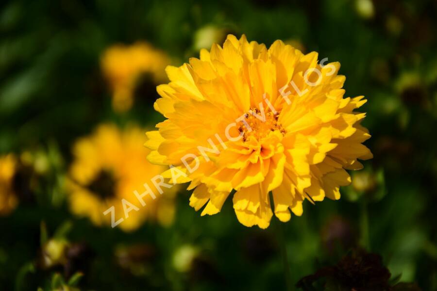 Krásnoočko velkokvěté 'Solena Double Gold' - Coreopsis grandiflora 'Solena Double Gold'