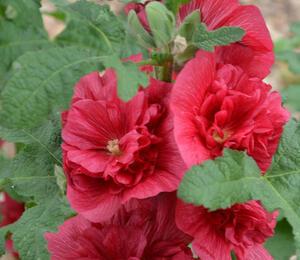 Topolovka růžová 'Ariella Red' - Alcea rosea 'Ariella Red'