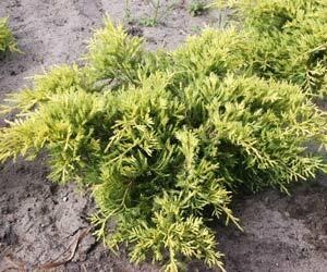 Jalovec prostřední 'Goldkissen' - Juniperus media 'Goldkissen'