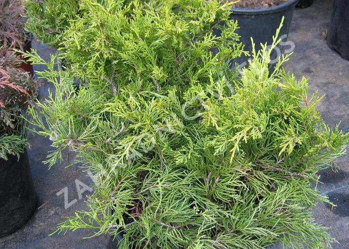 Jalovec prostřední 'Gold Coast' - Juniperus media 'Gold Coast'