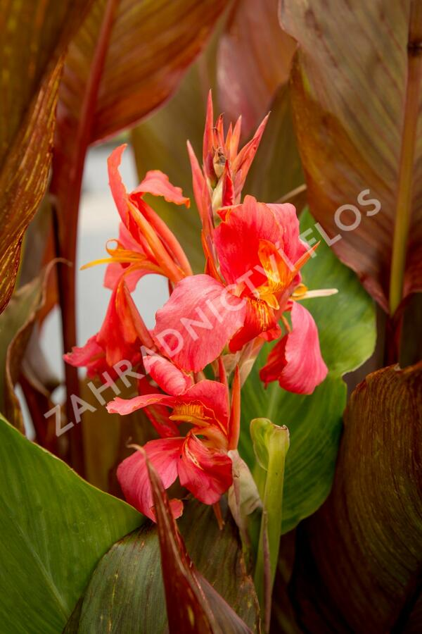 Dosna indická 'Orange' - Canna indica 'Orange'