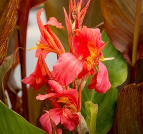 Dosna indická 'Orange' - Canna indica 'Orange'