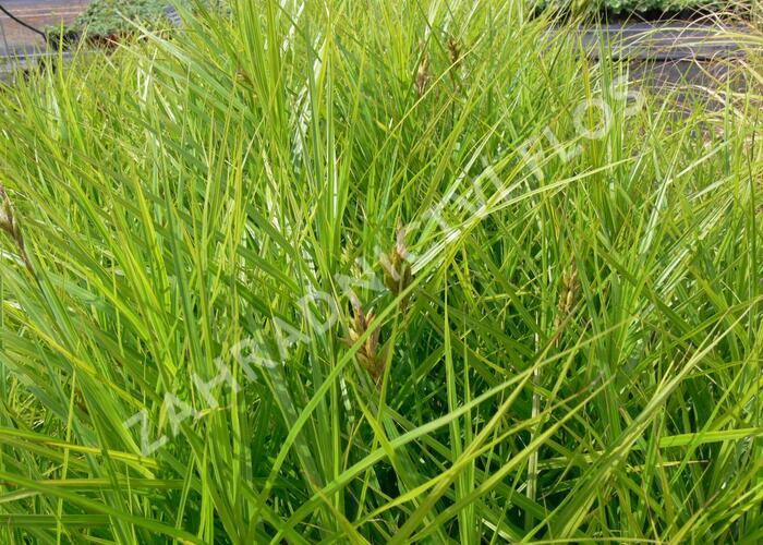 Ostřice muskingumská 'Variegata' - Carex muskingumensis 'Variegata'