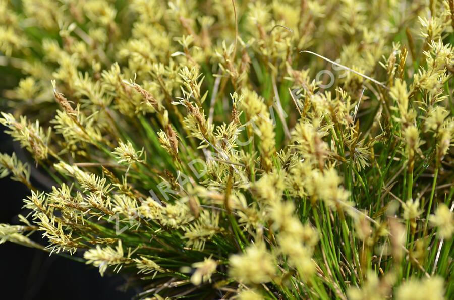 Ostřice Davallova - Carex davalliana