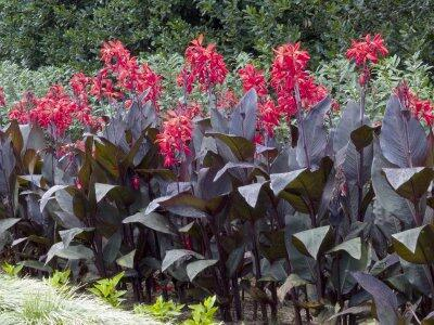 Dosna indická 'Red' - Canna indica 'Red'
