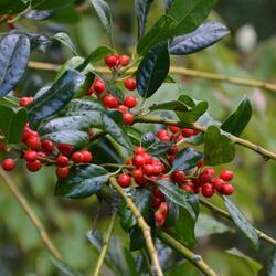 Cesmína obecná 'J.C. van Tol' - Ilex aquifolium 'J.C. van Tol'