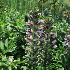 Paznehtník měkký 'Morning Candle' - Acanthus mollis 'Morning Candle'