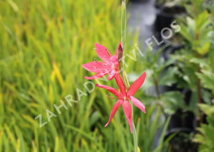 Říční lilie - Schizostylis coccinea