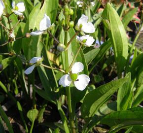 Šípatka trávolistá - Sagittaria graminea