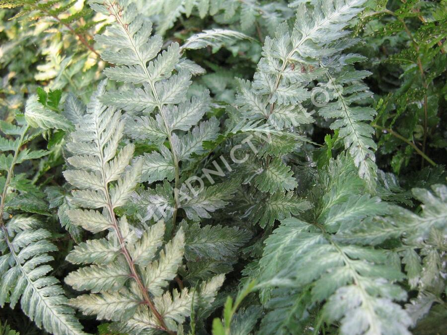 Papratka japonská 'Red Beauty' - Athyrium niponicum 'Red Beauty'