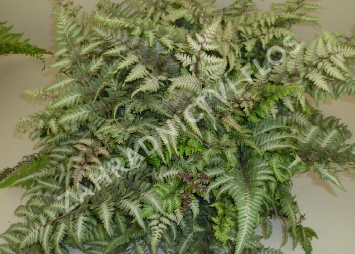 Papratka japonská 'Metallicum' - Athyrium niponicum 'Metallicum'