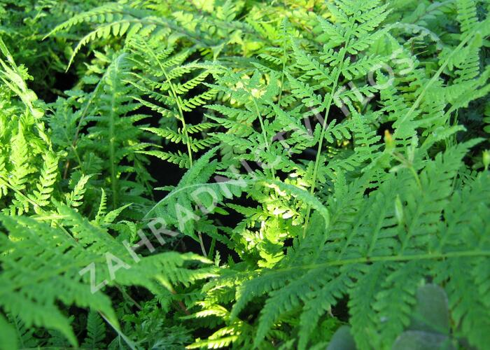 Papratka samičí 'Vernoniae' - Athyrium filix-femina 'Vernoniae'