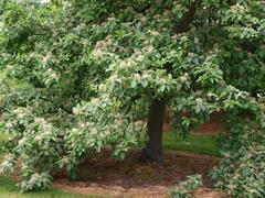 Jeřáb muk 'Magnifica' - Sorbus aria 'Magnifica'