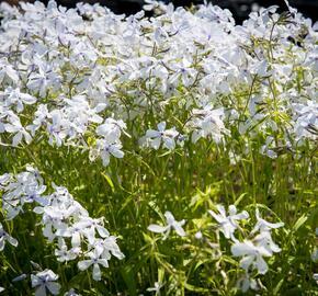 Plamenka 'White Perfume' - Phlox divaricata 'White Perfume'