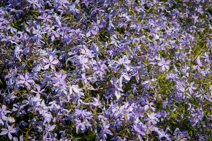 Plamenka rozkladitá - Phlox divaricata ssp. laphamii