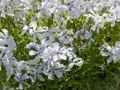 Plamenka 'May Breeze' - Phlox divaricata 'May Breeze'