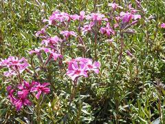 Plamenka šídlovitá 'Atropurpurea' - Phlox subulata 'Atropurpurea'