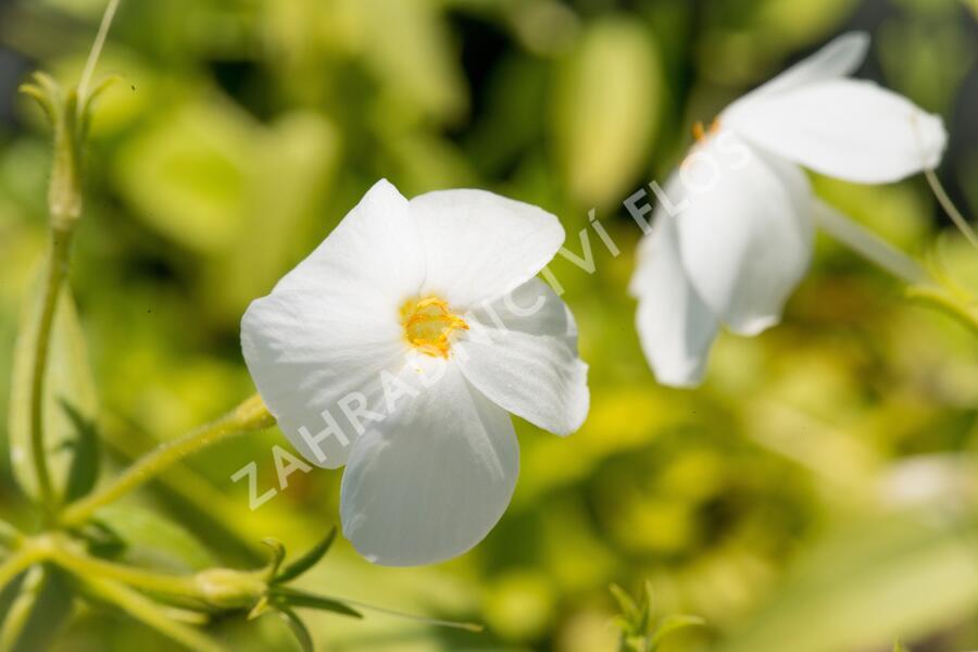 Plamenka 'Alba' - Phlox stolonifera 'Alba'