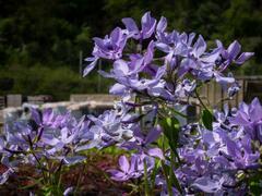 Plamenka rozkladitá 'Clouds of Perfume' - Phlox divaricata 'Clouds of Perfume'