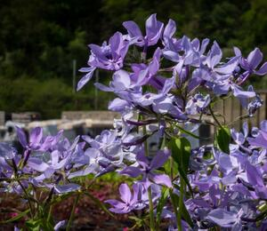 Plamenka rozkladitá 'Clouds of Perfume' - Phlox divaricata 'Clouds of Perfume'