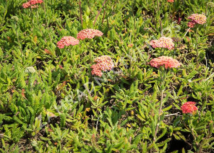 Řebříček obecný 'Desert Eve Terracotta' - Achillea millefolium 'Desert Eve Terracotta'
