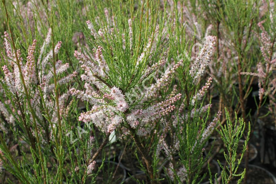 Tamaryšek kaspický - Tamarix ramosissima