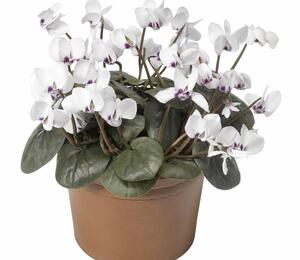 Brambořík 'Cyberia White' - Cyclamen coum 'Cyberia White'