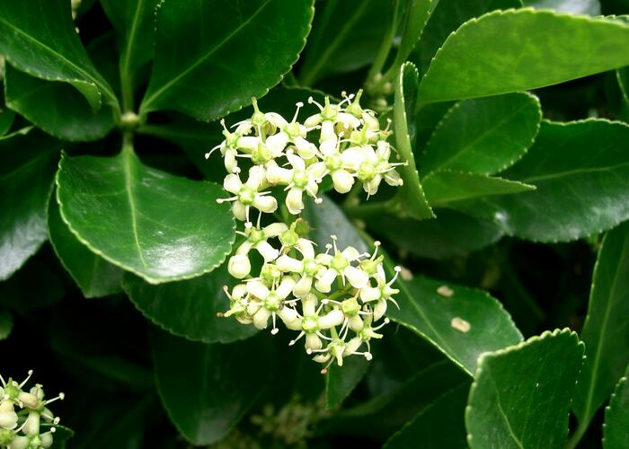 Brslen japonský - Euonymus japonicus